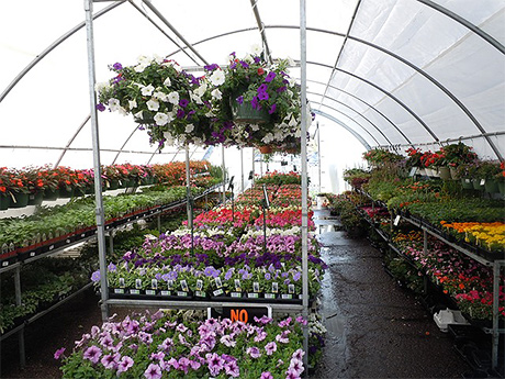 Flats of plants on greenhouse shelves with handing baskets overhead
